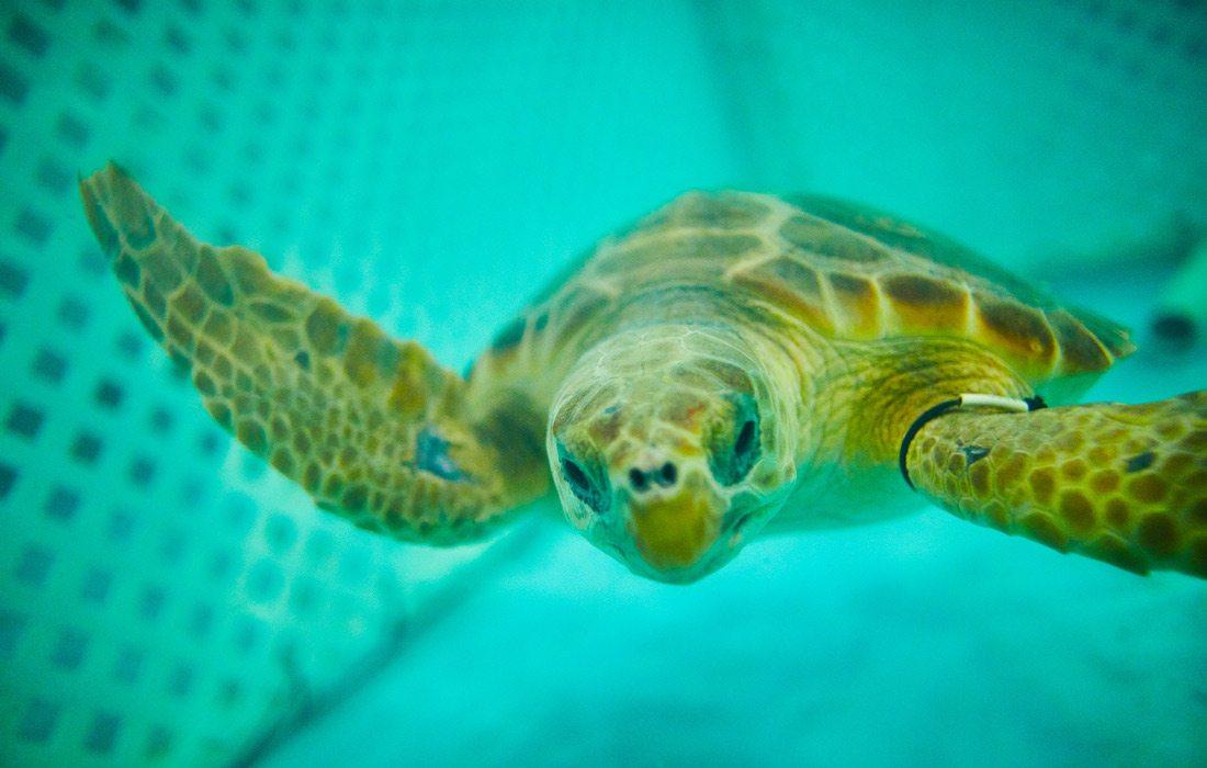 Rehab sea turtle at Wonders of Wildlife