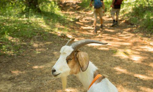 Goat on hiking trail