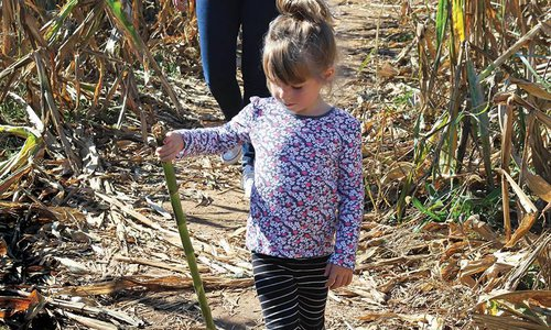 Little girl in a corn maze in southwest Missouri