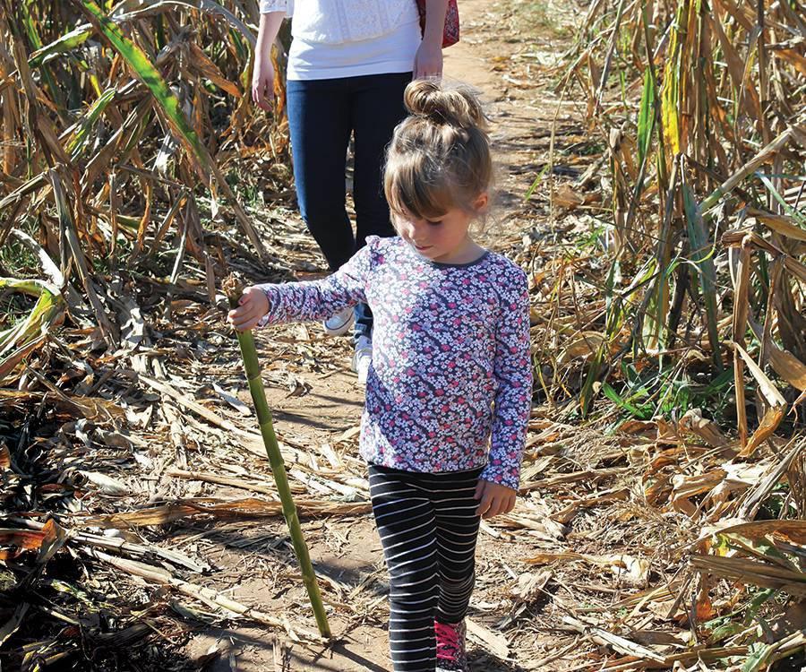little kids walking in a corn patch