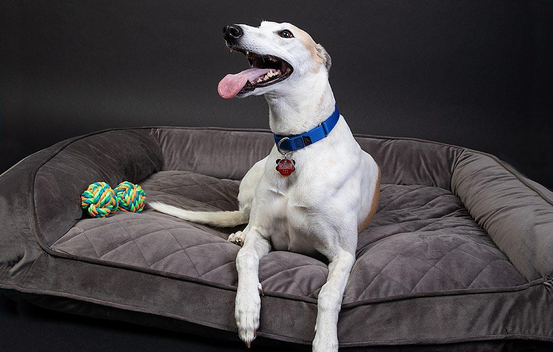 Adopted Greyhound through Greyhound Pet Adoption in Springfield, Missouri.