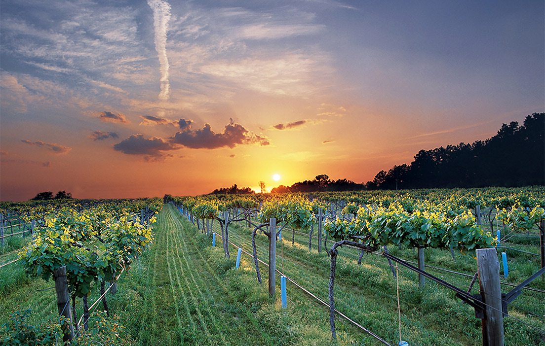 Vineyard in the Arkansas River Valley in Altus, Arkansas.