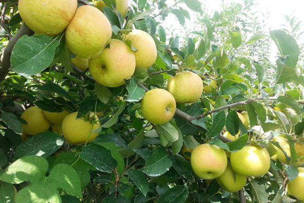 Apples growing in an orchard