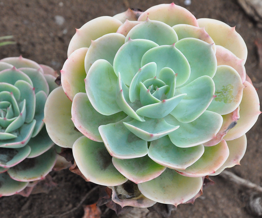 Easy-to-Care-for Succulents