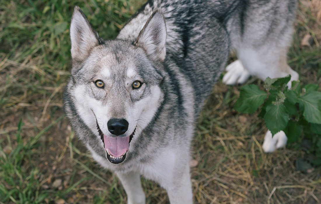Wolf at National Tiger Sanctuary in southwest Missouri