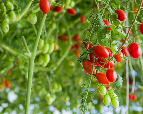 Growing Cherry Tomatoes in Garden