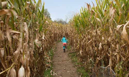 Young girl running through a corn maze in southwest Missouri