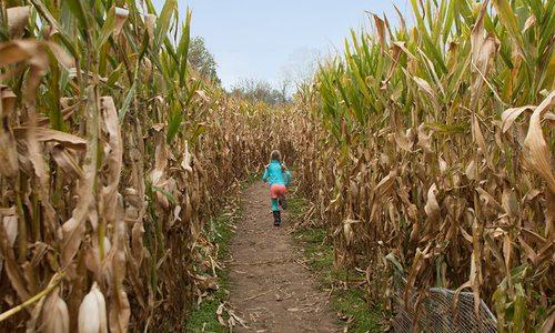 Young girl running through a corn maze in southwest Missouri