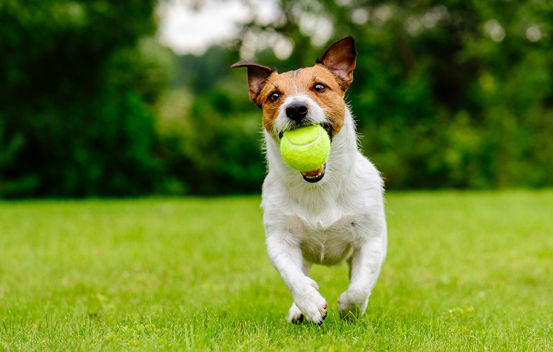 dog outside with a tennis ball