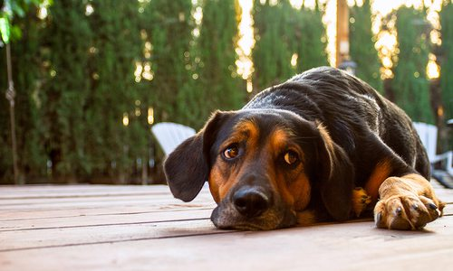 Dog laying on deck with trees in background