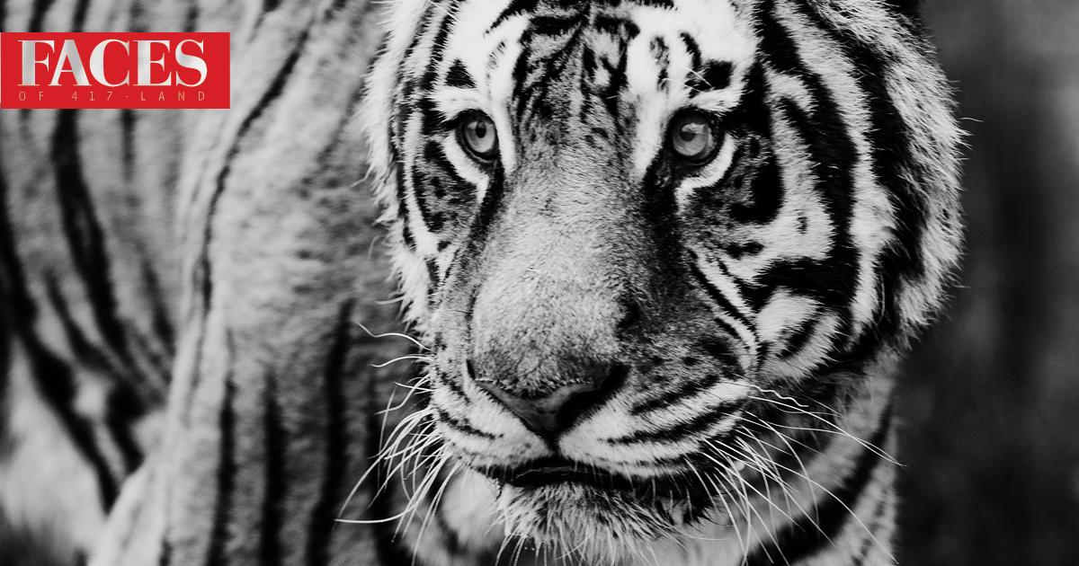 Tiger at National Tiger Sanctuary in Saddlebrooke MO