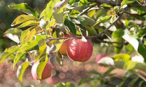 Apple Picking and Hiking near Springfield, MO