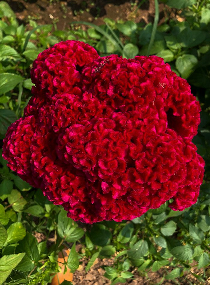 Large blossom of cockscomb