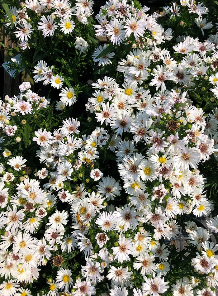 White asters.