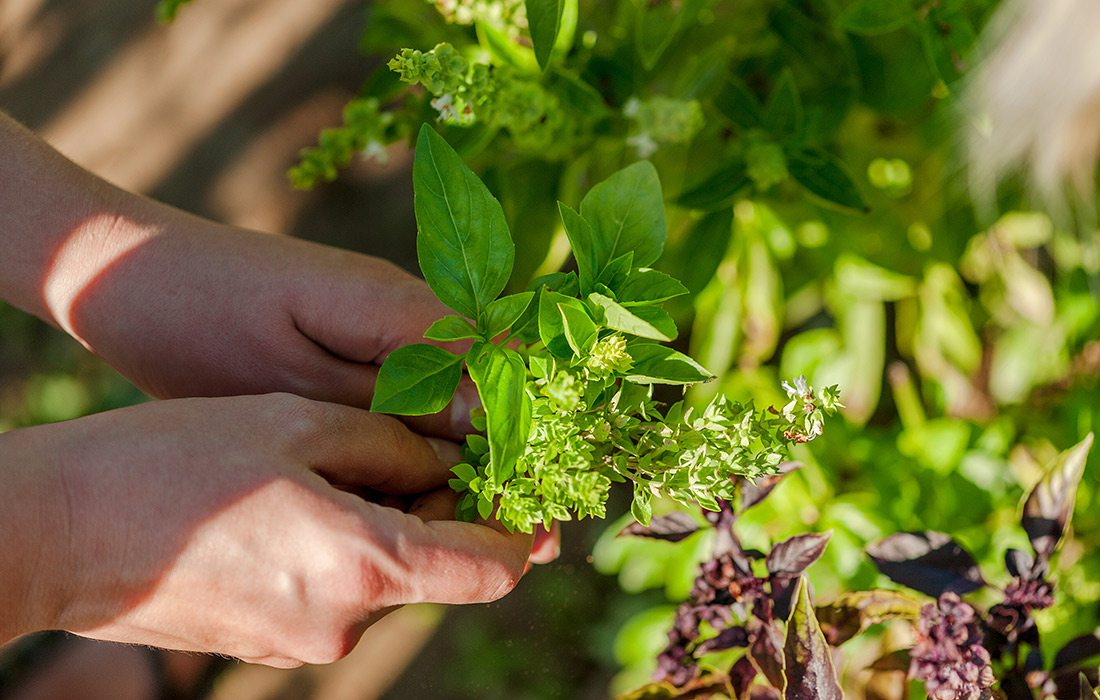 Hands holding a bunch of herbs in a garden