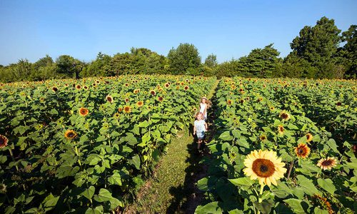 Sunflower Festival Begins to Bloom