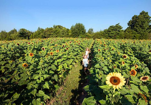 Sunflowers in bloom at Golden Grove Farms
