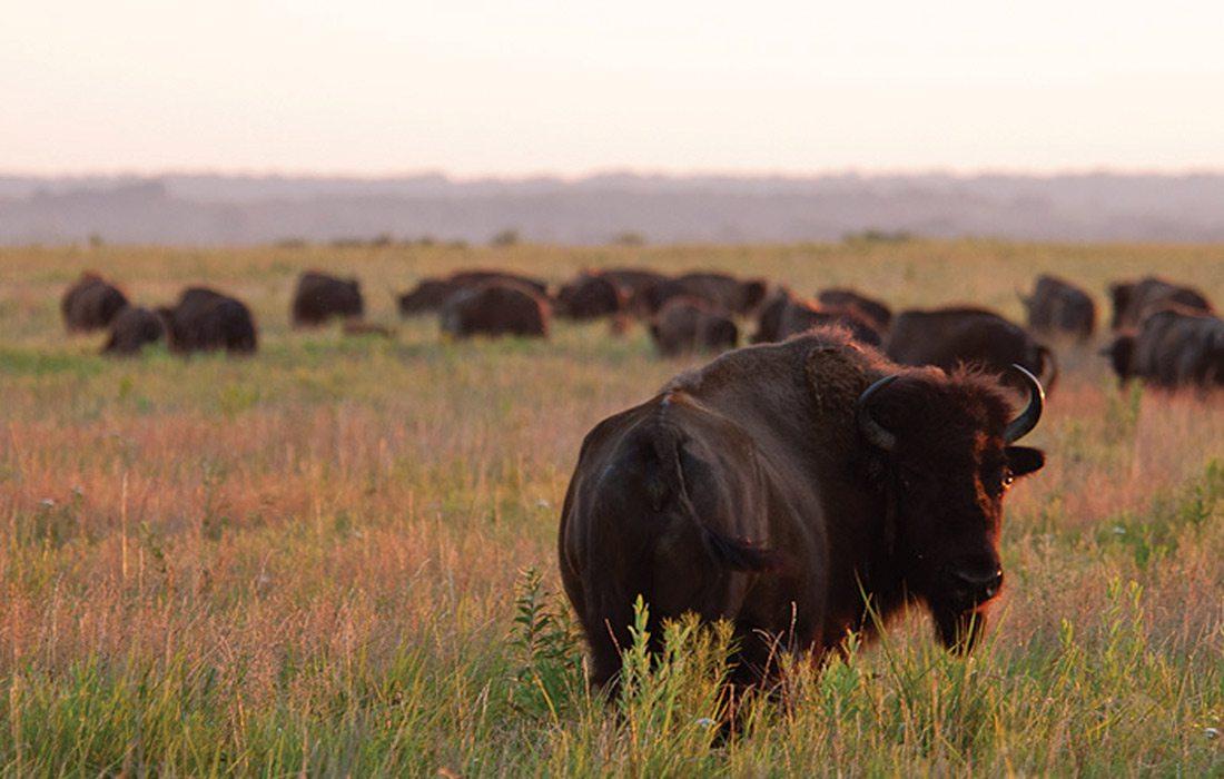 Bison roaming in Prairie State Park in Missouri