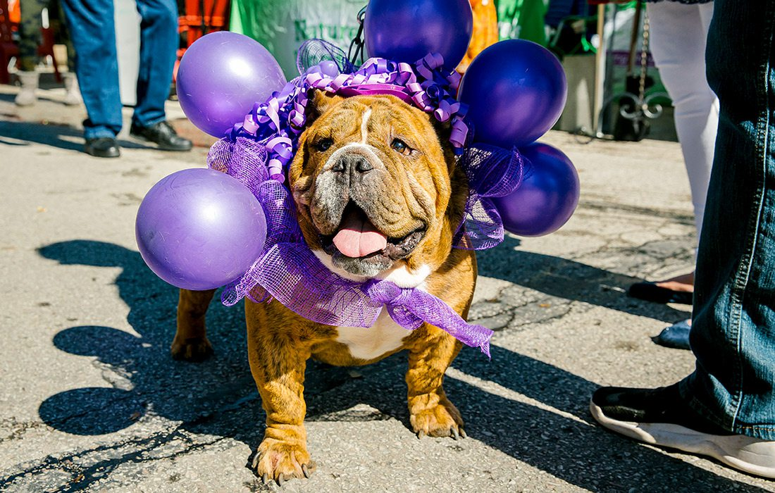 Dog dressed up for grape festival