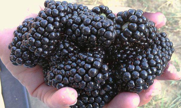 Blackberries from Hummingbird Berry Farm