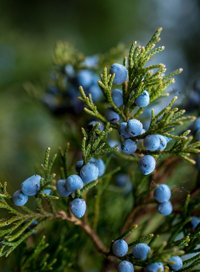 Blue juniper berries close up