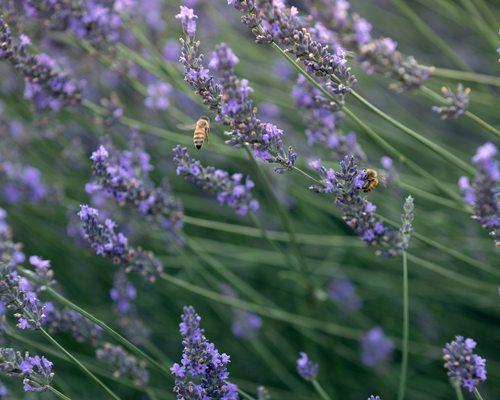 Lavender Falls Farm Clever Mo
