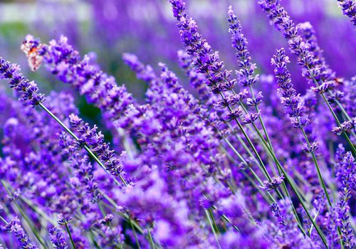 Must-Visit: Lavender Falls Farm