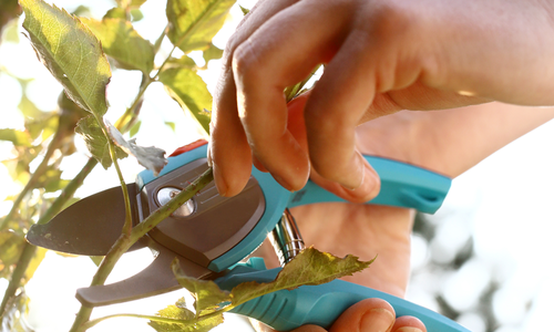 Pruning plants in a garden