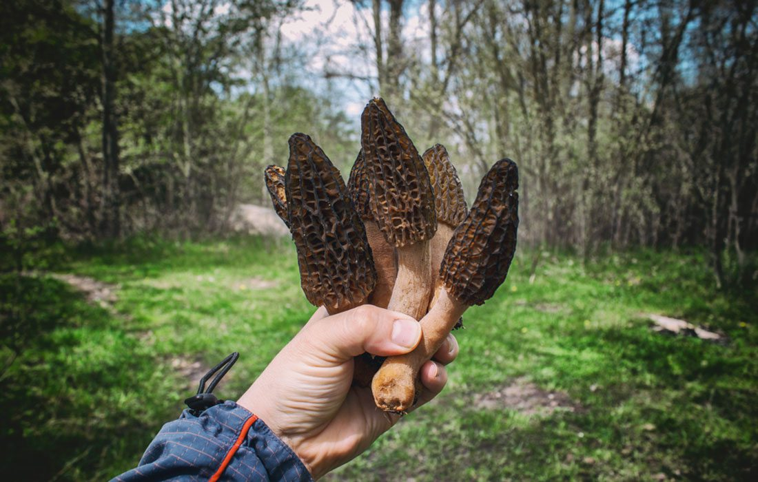 Morel mushroom hunting in Springfield, Missouri