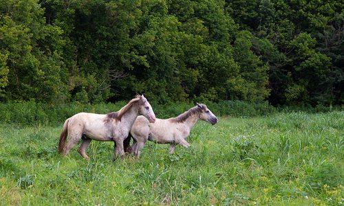 Wild horses near Jack's Fork River