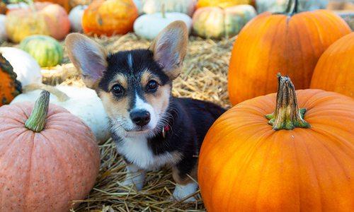 Corgi puppy and pumpkins