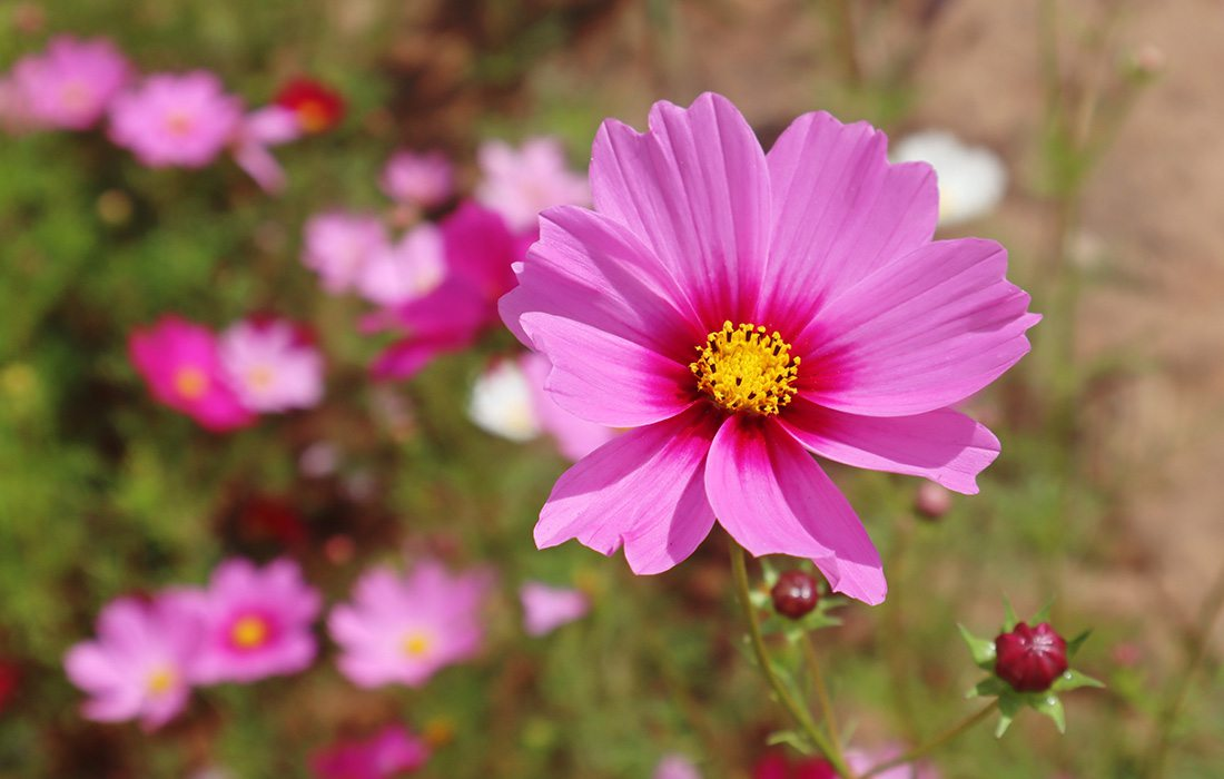 Pink cosmo flowers