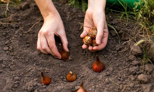 planting bulbs for spring