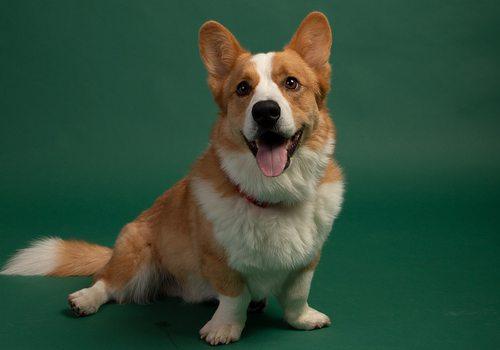 Riley, the winner of 417 Magazine's Cutest Pet Contest