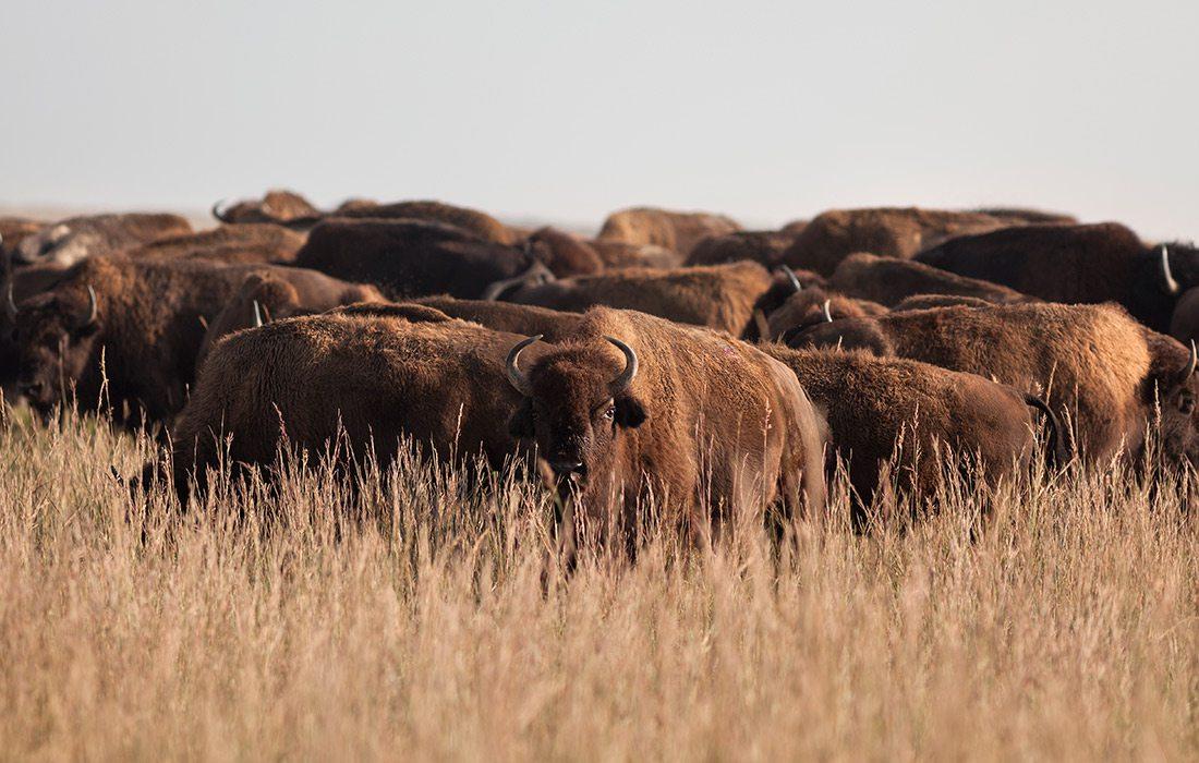 Bison at Prairie State Park in Missouri