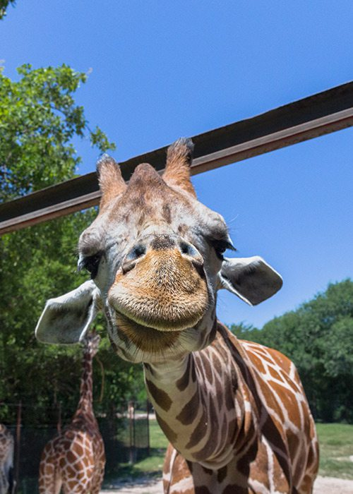 Close up of a giraffe's face at Dickerson Park Zoo in Springfield MO