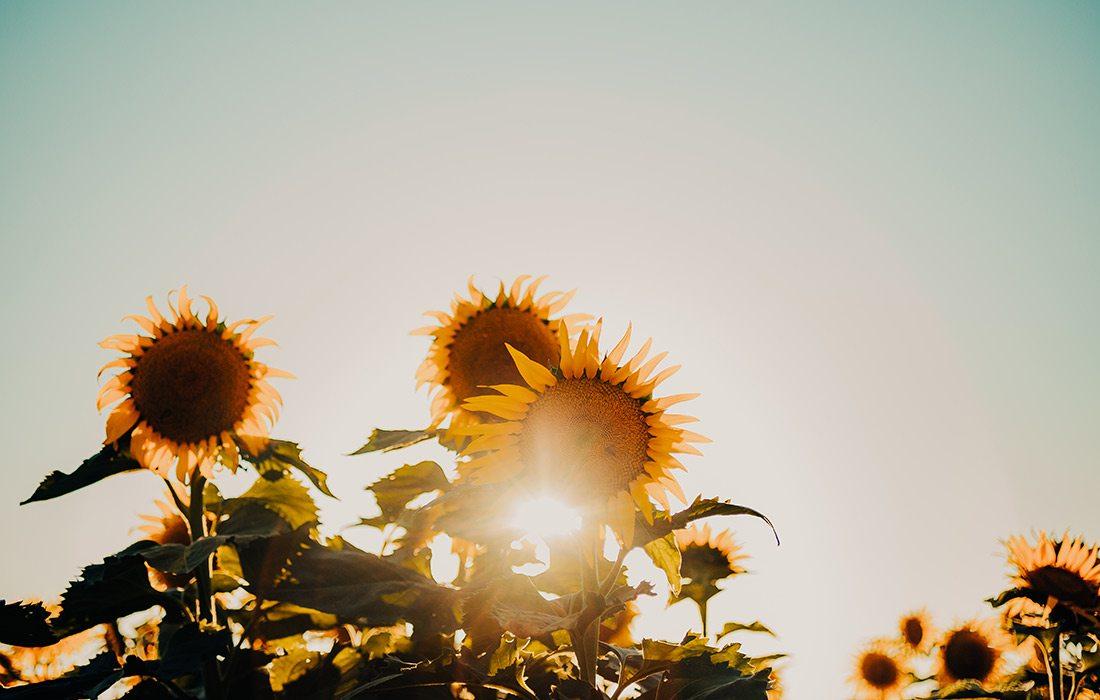 Setting sun peeking through sunflowers