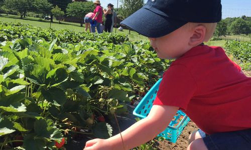 Where to Pick Strawberries in southwest MO