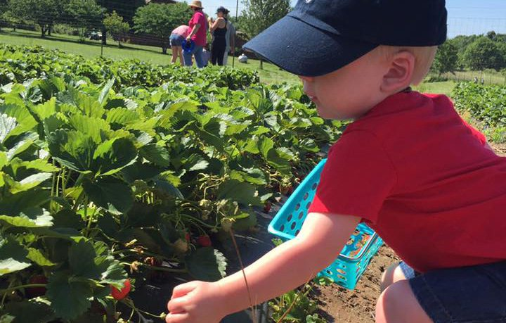 U Pick Strawberry Farms near Springfield, MO