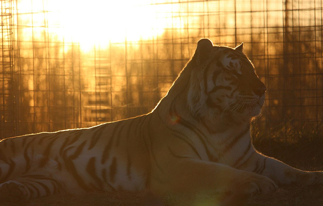 Tigers by Twilight at National Tiger Sanctuary Saddlebrooke MO
