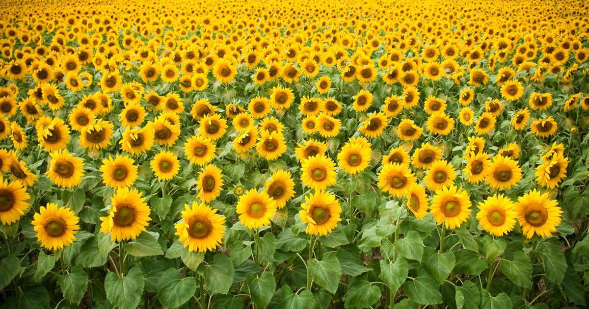 Sunflowers near Springfield, MO