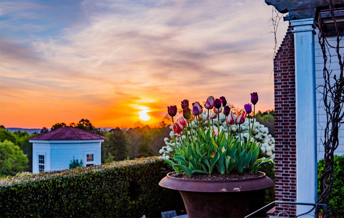 Tulips at sunset at Moss Mountain Farm in Arkansas