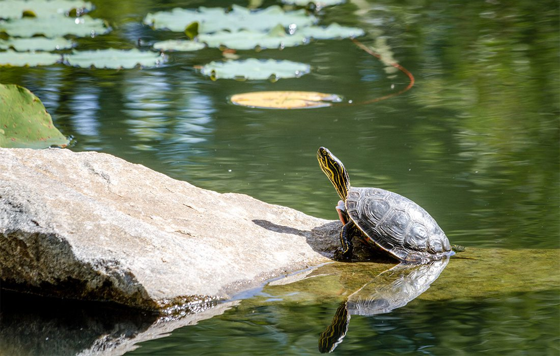 Turtle Relaxing on a Rock