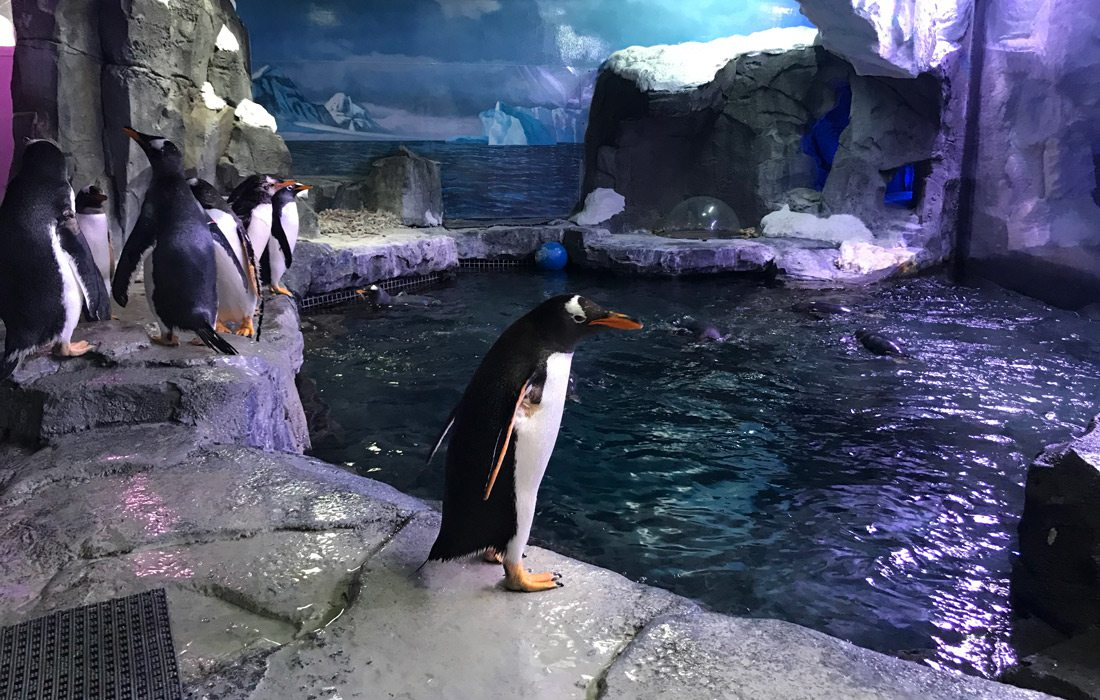 Gentoo penguins at Wonders of Wildlife