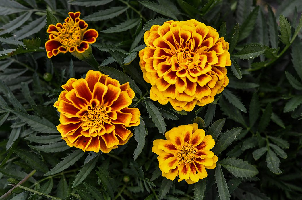 4 marigolds in full bloom