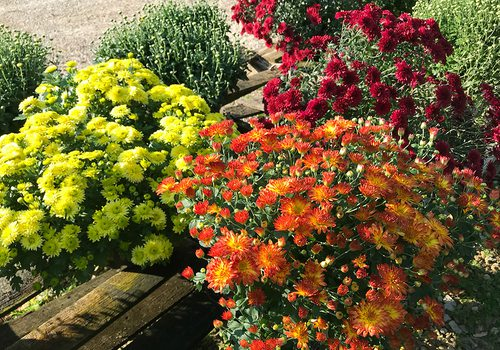 Mums and pansies at Wickman's Garden Village in Springfield, MO
