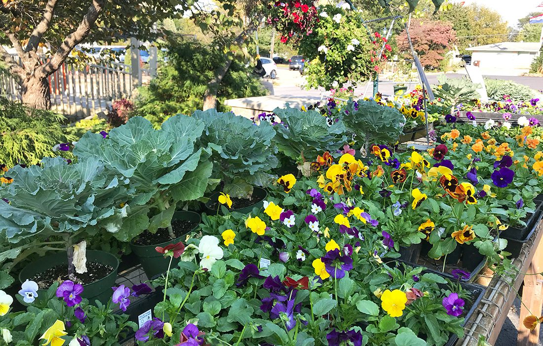 Pansies and cabbage at Wickman's Garden Village in Springfield, MO