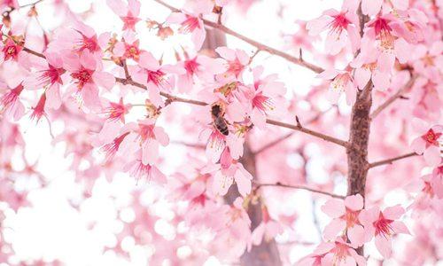 2021 Missouri Cherry Blossom Festival