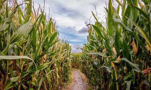 Aurora Corn Maze and Zombie Harvest