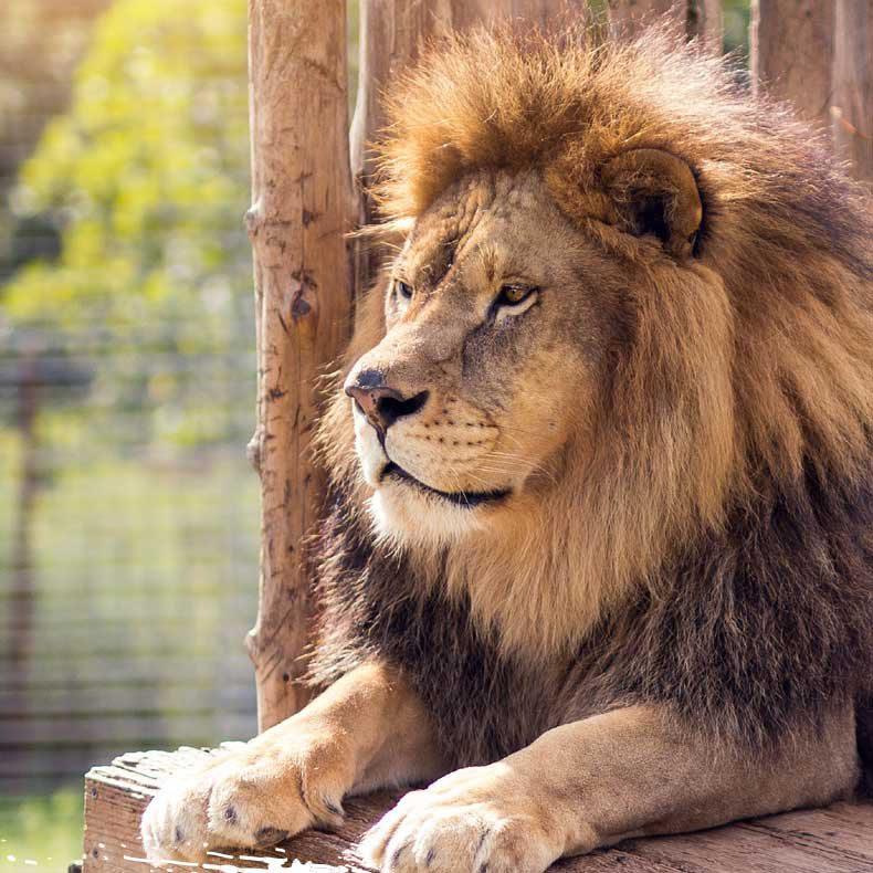 National Tiger Sanctuary lion